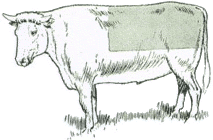 Brooks Cow